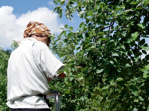 写真:りんご摘果の様子