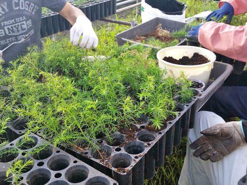 写真:コンテナ苗栽培の様子1