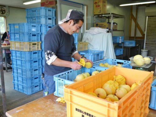 写真:梨の選果作業の様子