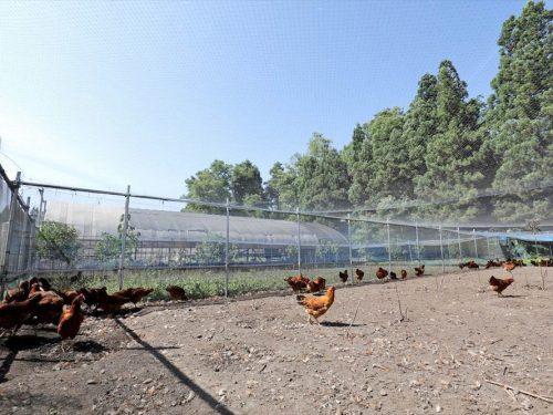 写真:比内地鶏飼育の様子3