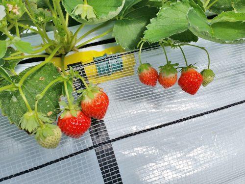 写真:夏イチゴ栽培1