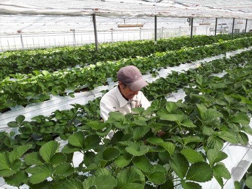 写真:夏イチゴ栽培2