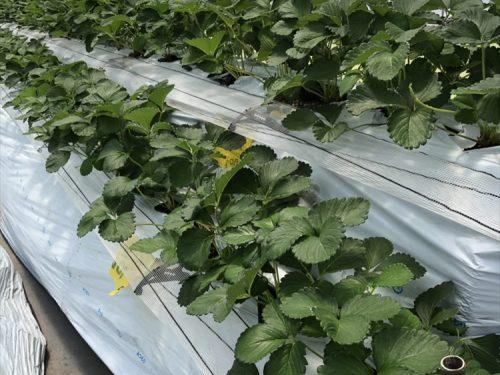 写真:夏イチゴ栽培3